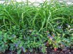 Плюмбаго - растение для клумб