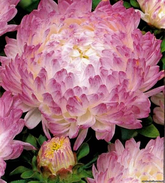 Астра цветок в рисунках