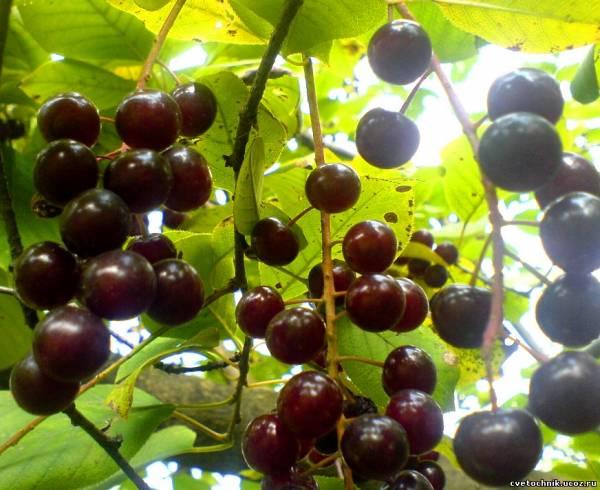 Lenusya45.  Ответить.  У меня перед домом растет дерево вишнячеремуха, ягоды вишневого цвета , а вкус черемухи.